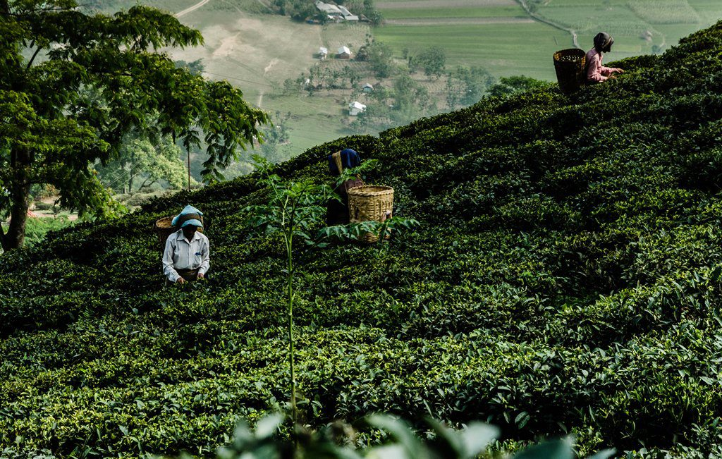 tea tourism in india